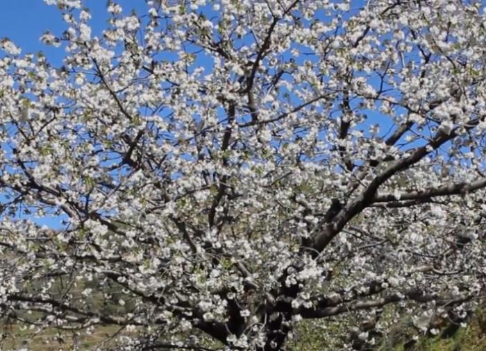 Disfruta paisaje primaveral del Valle del Jerte, donde nace la cereza