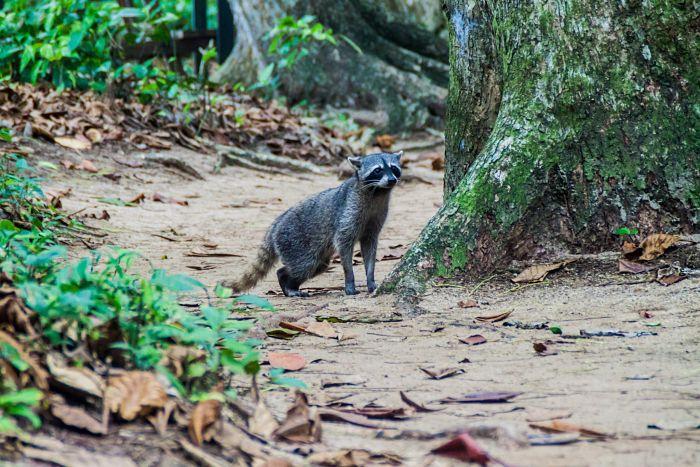 Mapache en el Parque Nacional Cahuita