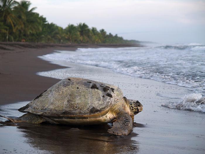Tortuga regresando al mar en Tortuguero