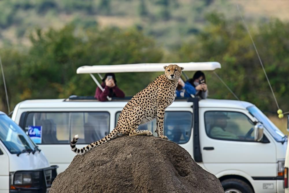 Turistas fotografiando un guepardo