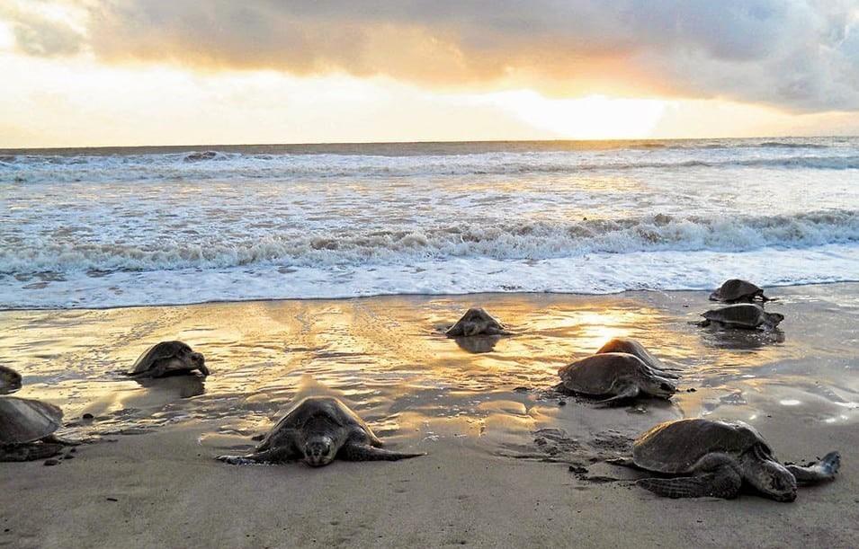 Desove de las tortugas en el Parque Nacional de Tortuguero