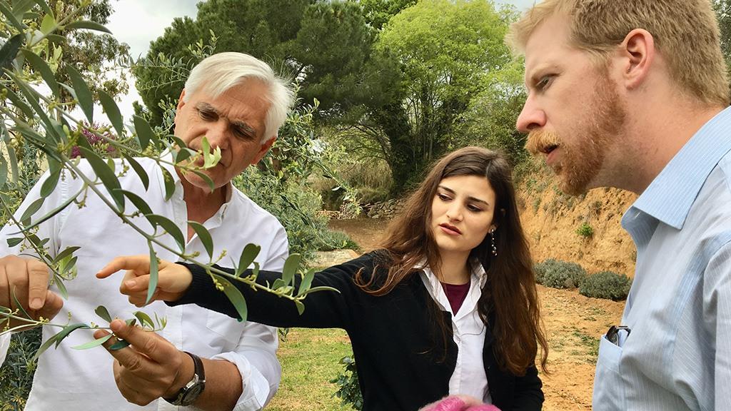 Conociendo diferentes tipos de olivos